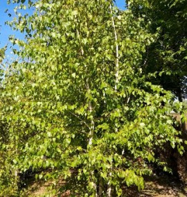 Берёза белая Betula Alba Multitronco