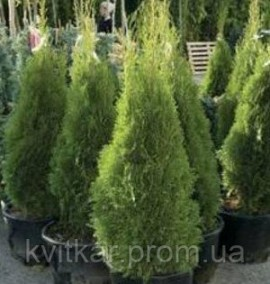 Туя западная Thuja occidentalis Smaragd С10 h1,5м