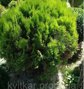 Туя Thuja occidentalis Tiny Tim C-9L 50-60