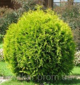 Туя THUJA OCCIDENTALIS SMARAGD PALLE C30 h-160-180