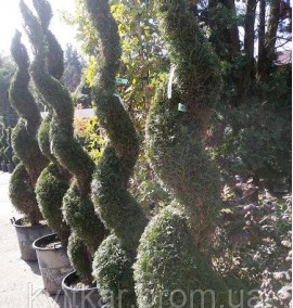 Туя THUJA OCCIDENTALIS SMARAGD SPIRALE C55 Л h-200/220
