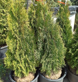 Туя западная Thuja occidentalis Smaragd