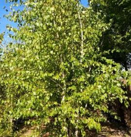 Берёза белая Betula Alba Multitronco