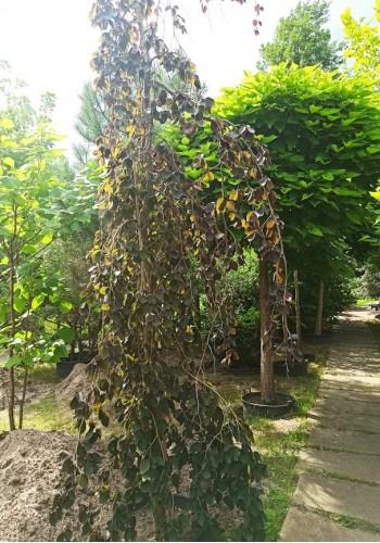 Бук лесной Пурпуреа Пендула FAGUS PURPUREA PENDULA