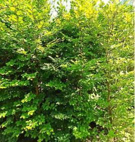 Бук европейский (лесной) Fagus Silvatica