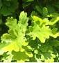 Дуб черешчатый Фастигиата Quercus robur Fastigiata