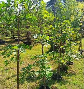 Дуб крупноплодный Quercus macrocarpa