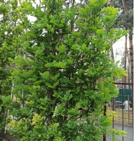 Дуб черешчатый Quercus Robur на шпалере