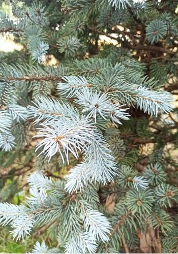Ель колючая Хупси Picea Pungens Hoopsi