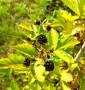 Ежевика Rubus