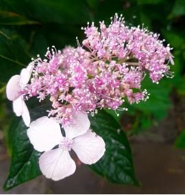 "Гортензия пильчатая ""Блюберд"" Hydrangea serrata ""Bluebird"""