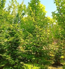 Граб обыкновенный Carpinus betulus Heskelement