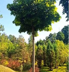 Клен остролистный Глобозум Acer platanoides Globosum