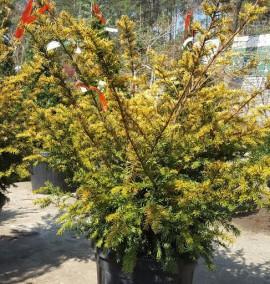 Тис ягодный Саммерголд (Taxus baccata Summergold) h-80/100, C-25L