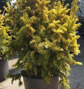 Тис ягодный Саммерголд (Taxus baccata Summergold) h-60/80, C-15L