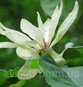 Магнолия Magnolia tripetala С-20 h-180-200