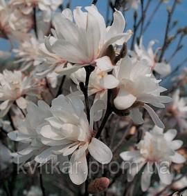 Магнолия Magnolia Encore С-20 h-150