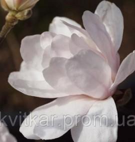 Магнолия Alixeed (Magnolia stellata Alixeed) С-20 h-150