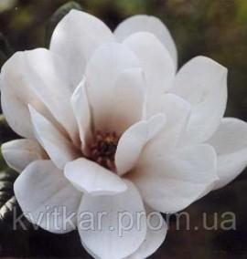 Магнолия Magnolia Mags Pirouette С-10 h-80-100