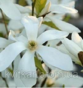 Магнолия Magnolia Wadas Memory C-20 h-180