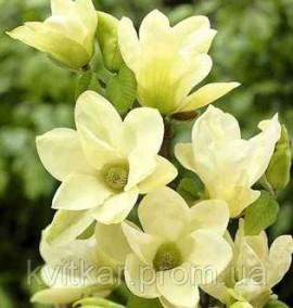 Магнолия Magnolia Yellow River С 3