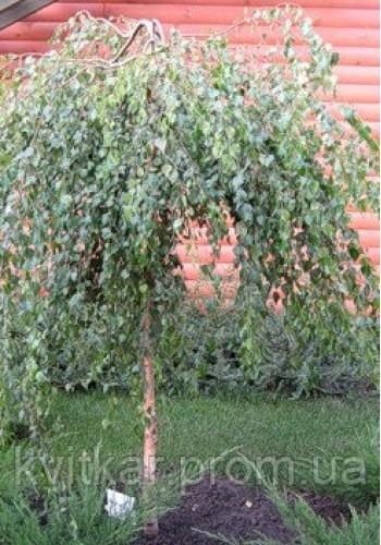 Береза Юнга Betula pendula Youngii С-35 d-10-12