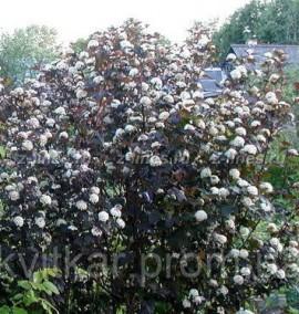 Пузыреплодник Physocarpus opulifolius Dablo С20 h1,7м