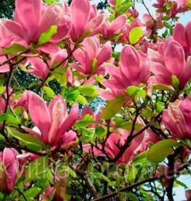 Магнолия суланжа Magnolia soulangeana C. 45L h-250/300 BUSH