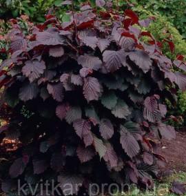 Лещина обыкновенная Corulus avellana Purpurea С8 h0,8-1м
