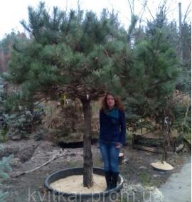 Сосна Австрийская черная Pinus Nigra Austriaca