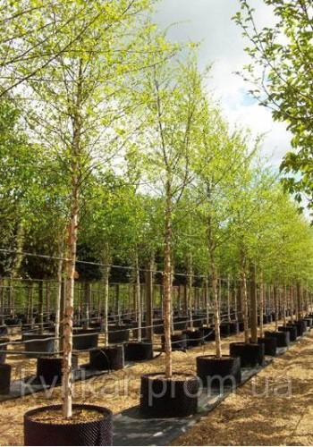 Береза черная Betula nigra C-90L h-250-300