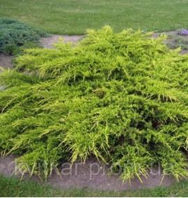 Можжевельник китайский Пфитцериана Ауреа Juniperus chinensis Pfitzeriana Aurea 180-200 C-80L