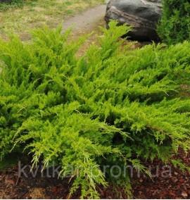 Можжевельник Средний Минт Джулеп Juniperus communis Sol С-80L 150-175