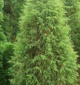 Можжевельник обыкновенный Хиберника Juniperus communis Hibernica C30L 150-200 SEGN