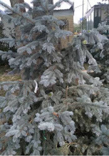 Ель колючая Picea pungens Fath Albert C110L h 200-220 25