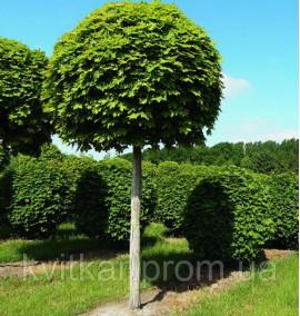 Клен oстролистный Acer PlatanosdesGlobosum 25-30 C 350 L