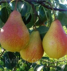 Груша Мария Prunus ceracus C 10L