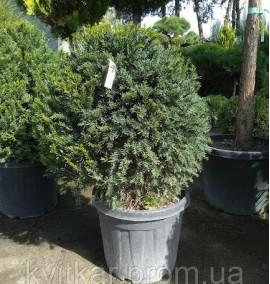 Тис ягодный (TAXUS BACCATA) PALLA d40-50