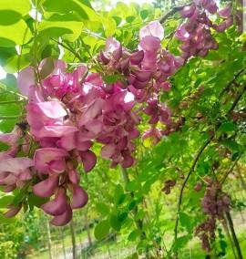 Робиния клейкая Robinia viscosa Vent. C80L 400