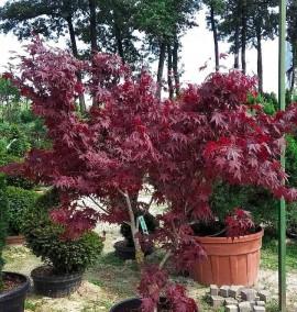 Клен пальмолистный Атропурпуреум Acer Palmatum Atropurpureum C70L 120-130