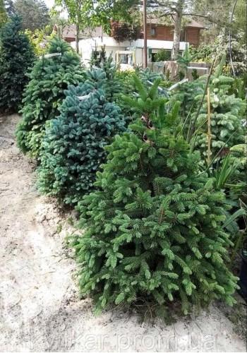 Ель Колючая Kaibab Picea pungens Glauca Kaibab Ком 80-140