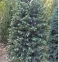 Ель Колючая Kaibab Picea pungens Glauca Kaibab Ком h-180