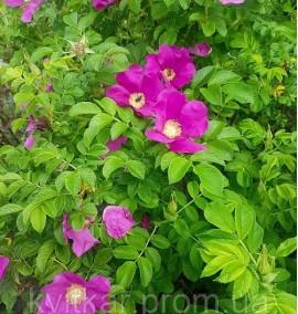 Роза Ругоза Белая/Розовая Rosa rugosa h100-150