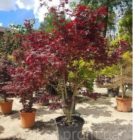 Клен пальмолистный Acer Palmatum Atropurpureum Fountain C50L h125-150