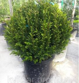 Тис ягодный Шар Taxus Baccata Ball C25L h40-50