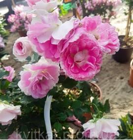 Роза на штамбе Rosa mini STD C12L