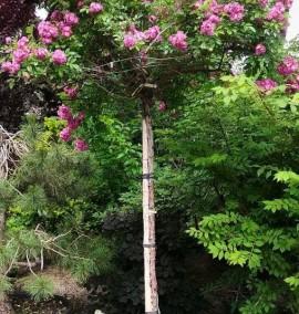 Штамбовая Роза Rosa ombrello C35L h200