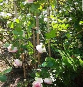 Роза Rosa Ком h200