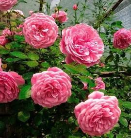 Роза плетистая на шпалере Rosa Shpalliera C35L h250
