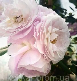 Роза Тантау Сапфир Rosa Tantau Saphir C12L h170-200